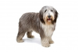 Steckbrief Bearded Collie