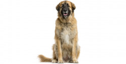 Steckbrief Leonberger