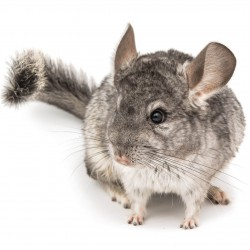 Steckbrief Chinchilla