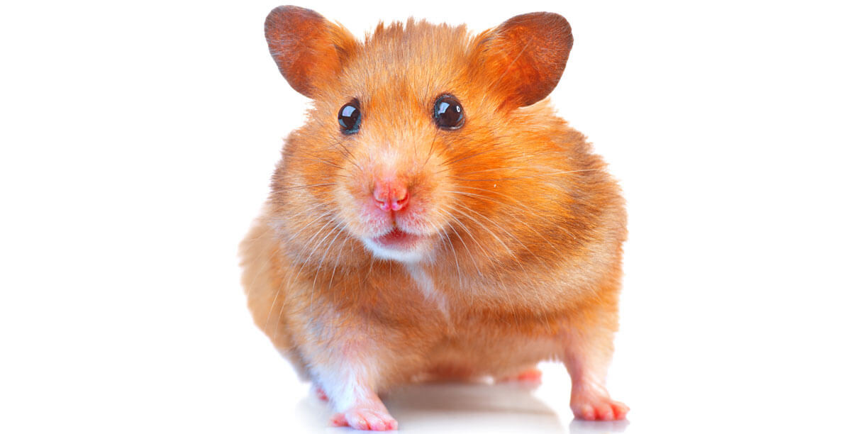 GoldhamsterinEAT3K2cMgzC