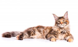 Steckbrief Maine Coon
