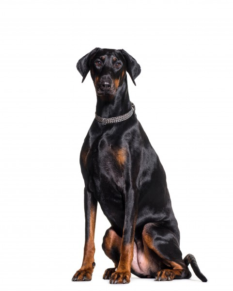 Steckbrief Dobermann