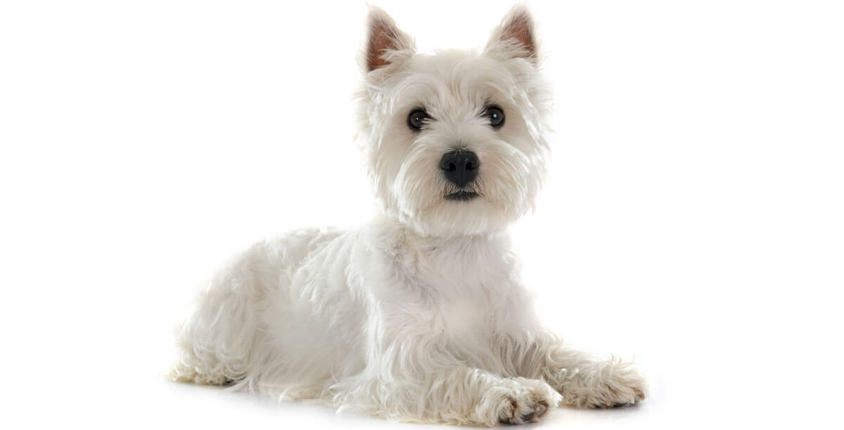 Steckbrief West Highland White Terrier