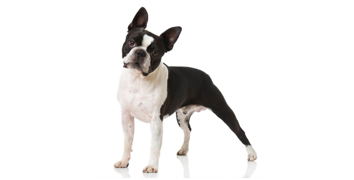Steckbrief Boston Terrier