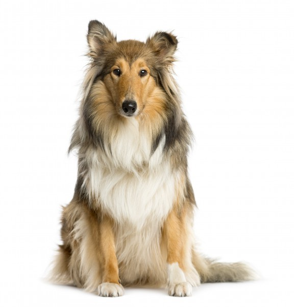 Steckbrief Collie